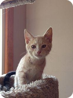Domestic Shorthair Kitten for adoption in Cleveland, Ohio - Gordon