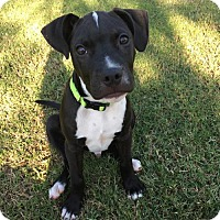 Adopt A Pet :: Bacon - Charlotte, NC