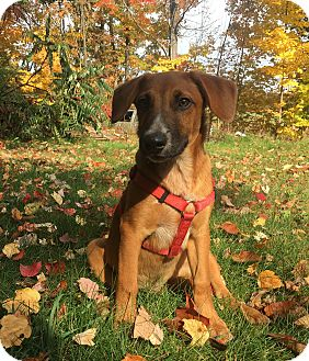Beagle/Australian Shepherd Mix Puppy for adoption in Sanford, Maine - Pheonix/ADOPTED