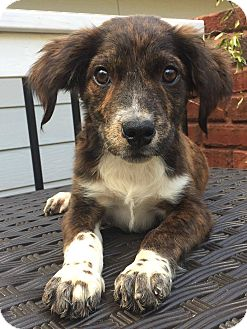 Spaniel (Unknown Type) Mix Puppy for adoption in CUMMING, Georgia - Lady
