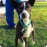 Adopt A Pet :: Beastie - WESTMINSTER, MD