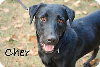 Labrador Retriever/Labrador Retriever Mix Dog for adoption in Minneola, Florida - Cher
