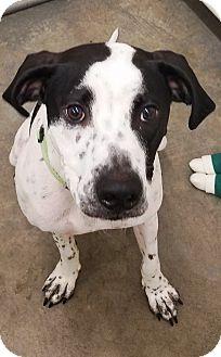 Pointer Mix Dog for adoption in Kalamazoo, Michigan - Chico