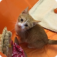 Domestic Shorthair Kitten for adoption in Butner, North Carolina - Chili