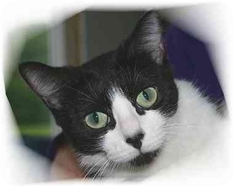 Domestic Shorthair Cat for adoption in Montgomery, Illinois - Sheridan
