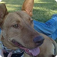 Adopt A Pet :: Cody - Van Nuys, CA