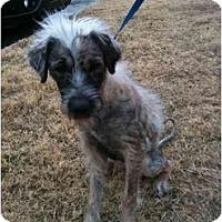 Adopt A Pet :: Isis - Arlington, TX