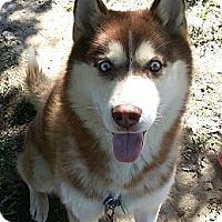 Adopt A Pet :: Kai - Elkhart, IN