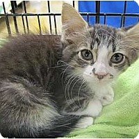 Adopt A Pet :: Lillie Puff - The Colony, TX