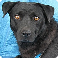 Labrador Retriever Mix Dog for adoption in Cuba, New York - Monica Schiff