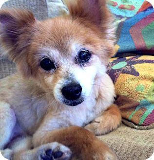 Pomeranian Mix Dog for adoption in Valley Village, California - Garol
