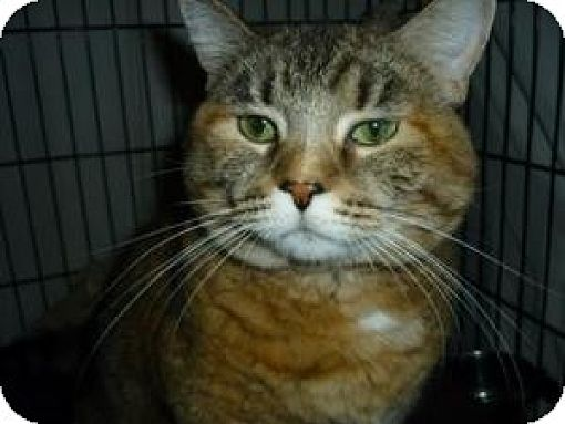 Domestic Shorthair Cat for adoption in Milwaukee, Wisconsin - Sara