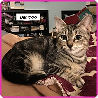 Domestic Shorthair Cat for adoption in Miami, Florida - Bamboo