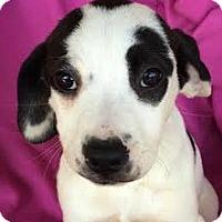 Adopt A Pet :: Rachel - Louisville, KY