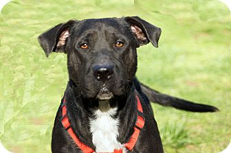 Labrador Retriever Mix Dog for adoption in Marion, North Carolina - Mason