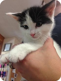 Domestic Shorthair Kitten for adoption in Cashiers, North Carolina - Cyrus