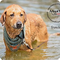 Adopt A Pet :: Bruno Mars - Freeport, NY