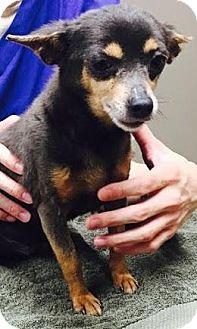 Chihuahua Dog for adoption in Baton Rouge, Louisiana - Fancy Jamie