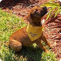 Adopt A Pet :: LIZZY~4 MO OLD LAB MIX PUPPY - Seminole, FL