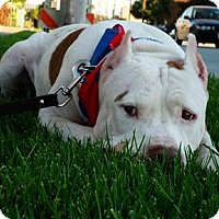 American Pit Bull Terrier/American Staffordshire Terrier Mix Dog for adoption in Santa Monica, California - Watson