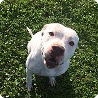 American Bulldog Mix Dog for adoption in Lake Placid, Florida - Fred