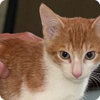 Domestic Shorthair Kitten for adoption in Durham, North Carolina - Benji