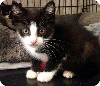 Domestic Shorthair Kitten for adoption in River Edge, New Jersey - Skimbleshanks