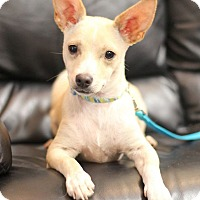 Adopt A Pet :: Muno (8 pounds) - College Station, TX