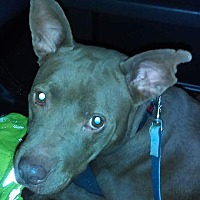 Adopt A Pet :: Coco - south plainfield, NJ