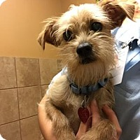 Terrier (Unknown Type, Small) Mix Dog for adoption in Plymouth Meeting, Pennsylvania - Bullet