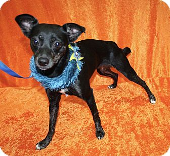 Chihuahua/Miniature Pinscher Mix Dog for adoption in Jackson, Michigan - Vivian