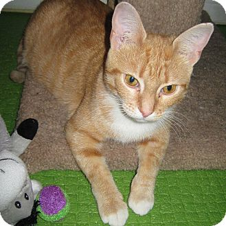 Domestic Shorthair Cat for adoption in Toronto, Ontario - Rousette