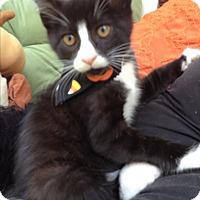 Domestic Shorthair Kitten for adoption in Statesville, North Carolina - Twilight