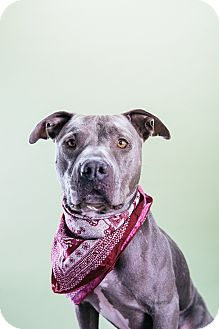 American Staffordshire Terrier Mix Dog for adoption in Los Angeles, California - Shiraz