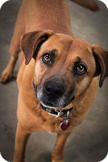 Boxer/Labrador Retriever Mix Dog for adoption in Gilmer, Texas - Sandy