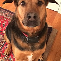 Shepherd (Unknown Type) Mix Dog for adoption in Brattleboro, Vermont - Homer - MA