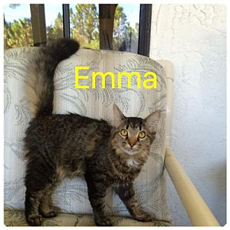 Maine Coon Cat for adoption in Satellite Beach, Florida - Emma