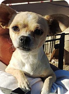 Chihuahua Mix Dog for adoption in Las Vegas, Nevada - Ashlee