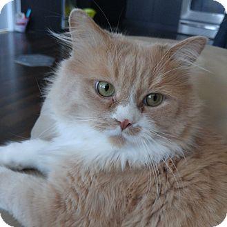 Domestic Mediumhair Cat for adoption in Toronto, Ontario - Henry