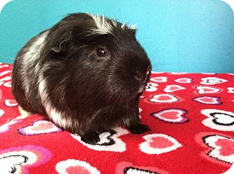 Guinea Pig for adoption in Coral Springs, Florida - Steven (Neutered)