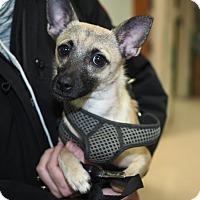Adopt A Pet :: Pablo - Whitehall, PA