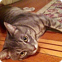 Adopt A Pet :: Sneaky Pete the Lovable Tabby - Brooklyn, NY