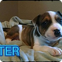 Adopt A Pet :: Aster - Fort Worth, TX
