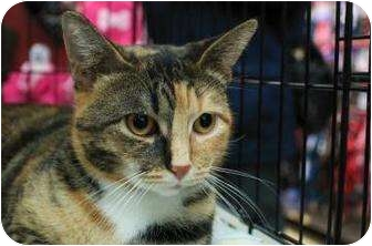 Abyssinian Cat for adoption in New York, New York - Eliza