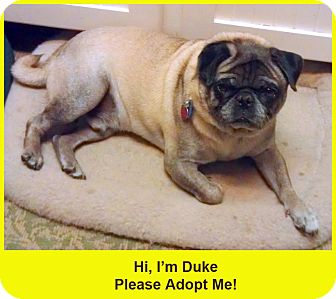 Pug Dog for adoption in Eagle, Idaho - Duke