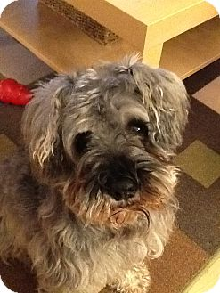 Schnauzer (Miniature) Dog for adoption in Douglas, Ontario - MeLou