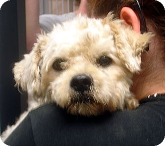 Poodle (Miniature)/Schnauzer (Standard) Mix Dog for adoption in baltimore, Maryland - Palmer