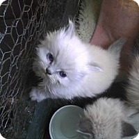 Adopt A Pet :: Pom Pom - Modesto, CA