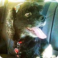 Adopt A Pet :: George the Cocker - Scottsdale, AZ