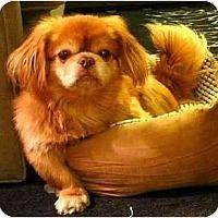 Adopt A Pet :: Bugsy-NY - Mays Landing, NJ